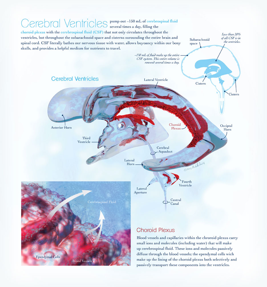 ventricles and choroid plexus illustration by michelle davis