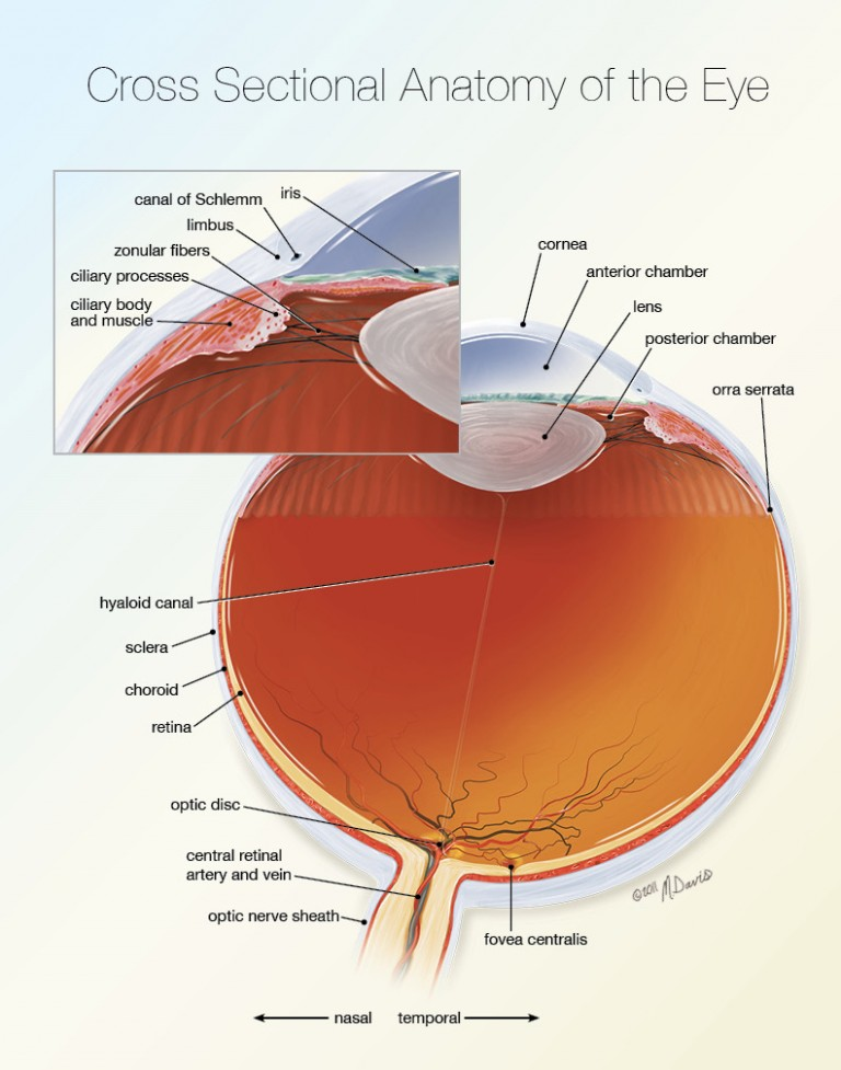 Eye Cross Sectional Anatomy
